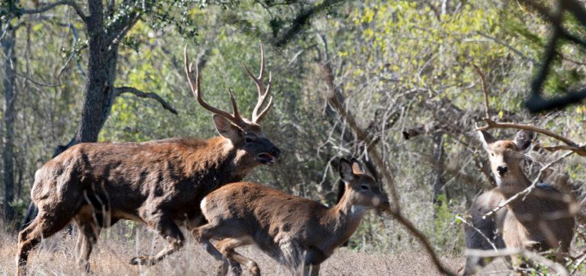 Post Rut Deer